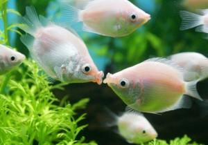 Kissing-Fish